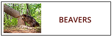 Beaver Removal Service Harrisburg PA