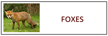 Fox Removal Service Harrisburg PA