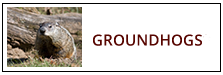Groundhog Removal Service Harrisburg PA