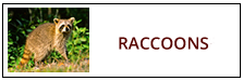 Raccoon Removal Service Harrisburg PA