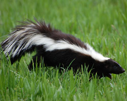 Skunk Removal in Harrisburg PA